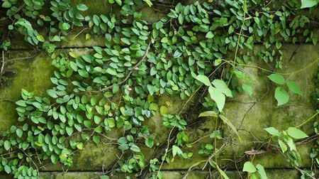 crawler : Slow motion tracking shot of green ivy creeper plants on the garden wall in Asia, Thailand. Nature background and life concepts. Stock Footage