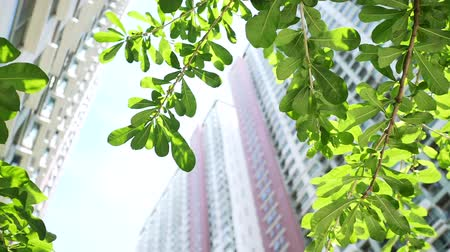 The look up view from under the green leaves of tree between the tall buildings with wide angle background in Bangkok, Thailand. City and lifestyle concepts. Stock mozgókép