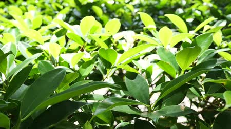 vernal : Foreground focus of the garden bushes and shrubs dense with green leaves in Asia, Thailand. The afternoon sunlight of summer shining on the back trees. Nature and greenery concepts. Stock Footage