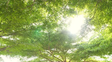 wide angle view : Wide angle view under the beautiful big trees with sunlight passing through the leaves. Trees in the park of large city in Bangkok, Thailand. Environment and relaxation concepts.