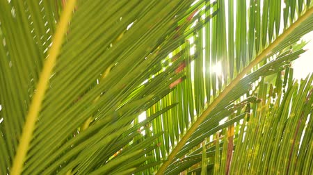 Camera moving shot of tropical coconut palm tree with beautiful sunlight glimmering through green leaves in slow motion. Nature, environment and relaxation concepts. Stock mozgókép