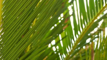 Moving shot of beautiful sunlight glimmering through tropical green leaves of coconut palm tree in slow motion. Nature, environmental and relaxation concepts.