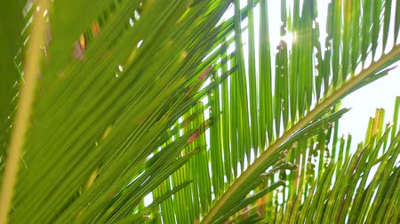 urlop : Tracking shot of nature background, close-up tropical green leave of coconut palm trees with summer bright sunlight shining on background. Environment, abstract pattern, and relaxation concepts.