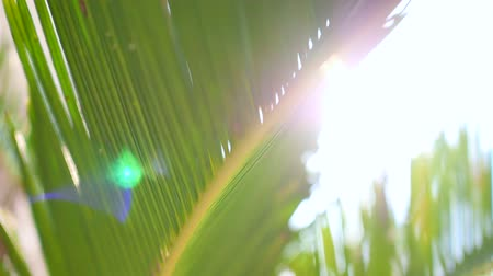 urlop : Abstract of greenery nature, close-up view tracking along the leaf of coconut palm tree with summer bright sunbeam shining on background. Environment, tropical plant, and relaxation concepts.