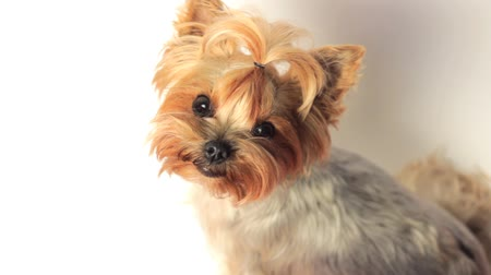 терьер : Young cute yorkie on white background, looking up into the camera