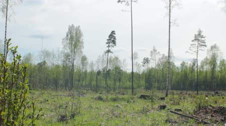 pień : Devastated forest in summer on a sunny day