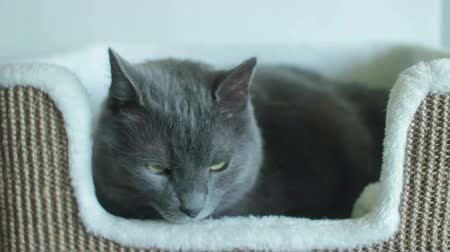 Male Russian Blue Cat Resting
