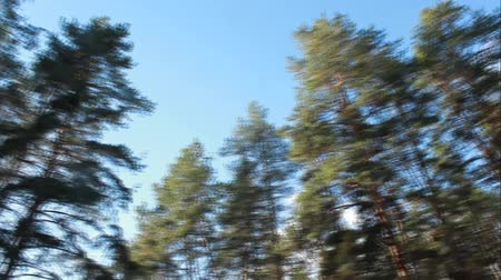 Tops of pine trees and the sky. Pan from left to right and back Stock Footage