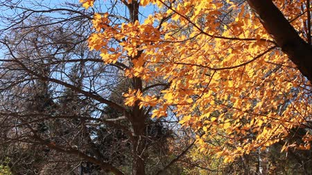 The golden leaves of the trees in the sunlight against the blue sky and leafless tree