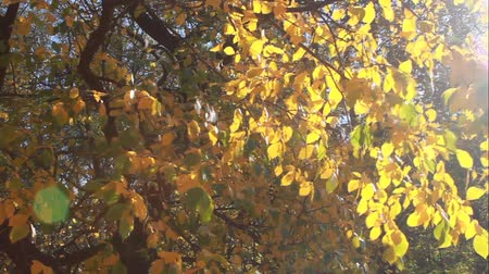 Autumn colors. Yellow leaves of the tree with the glare from the sun