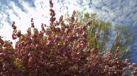 cereja : Japanese cherry blossom in spring Stock Footage