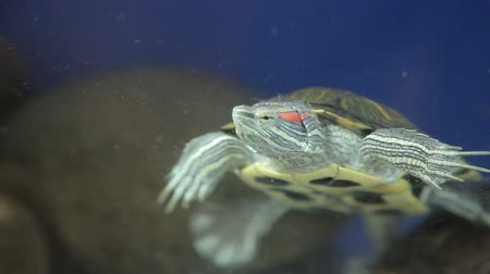 щит : Red-bellied turtle in an aquarium Стоковые видеозаписи