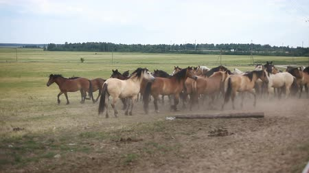 herélt ló : A herd of horses in the pasture Stock mozgókép