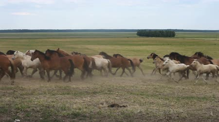 herélt ló : A herd of horses run across the field