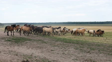 kobyla : A herd of horses grazing in the field