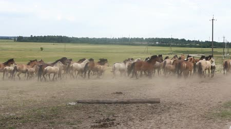 mucca : A herd of horses raised dust Filmati Stock