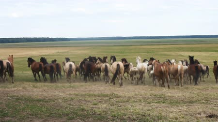 kobyla : Horses running around the field