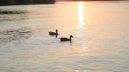 kaczka : A pair of ducks swimming on the water against a sunset background Wideo