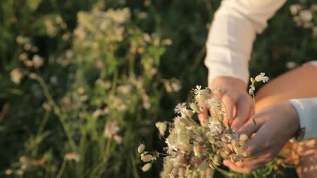 coletando : Girl collects wild flowers close-up of flowers Stock Footage