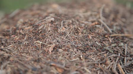 anthills : Anthills with ants in the afternoon Stock Footage