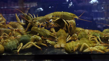 kaynatmak : These are the crayfish, the breeders that were raised for commercial distribution as well as the prawns. Inside the aquarium is a simulation of natural ecosystems.