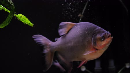 нападение : One piranha swims in a freshwater aquarium, piranha eats shrimp