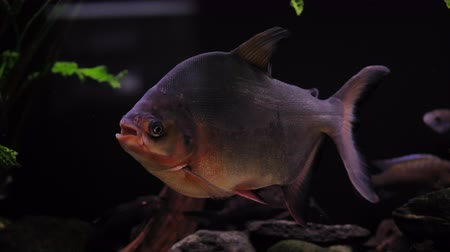 клык : Tropical piranha fish in a freshwater aquarium with fish of a different species.