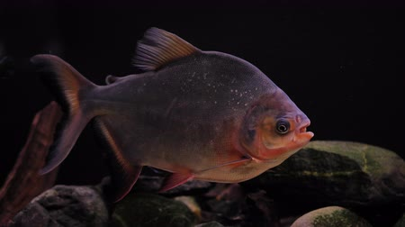 живая природа : Predatory fish in the aquarium, the content of piranha at home Стоковые видеозаписи