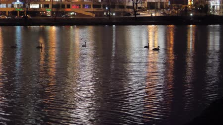 independence : Swans swim at night in the lake. Reflection of the night city on the water. Night light.