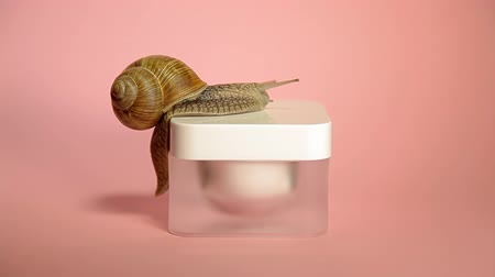 оболочка : Snail crawling on a jar of cream. Snail and cosmetics on a pink background. Shellfish on the banks. Anti-aging mucus.