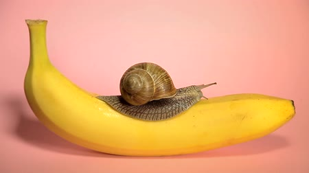 ползком : Snail crawling on a banana. Pink background. Yellow banana with snail on a pink background