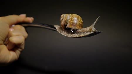 оболочка : A snail is crawling on a fork on a black background. A hand is holding a table fork with a snail. Grape snail kills from the man. Eating snails. Стоковые видеозаписи