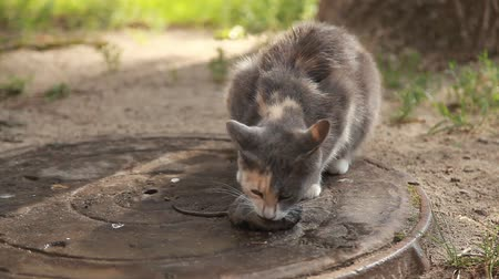 убивать : The cat is eating a mouse. A tricolor cat caught a mouse in the yard. The cat is a predator. Gray mouse and cat outside. Стоковые видеозаписи