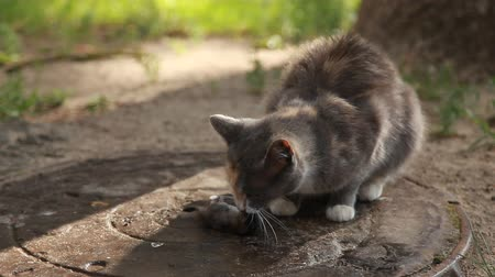 üç renkli : The cat is eating a mouse. A tricolor cat caught a mouse in the yard. The cat is a predator. Gray mouse and cat outside. Stok Video