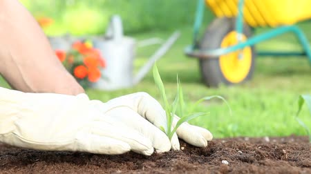 hands planting a seedling in the ground Stock Footage