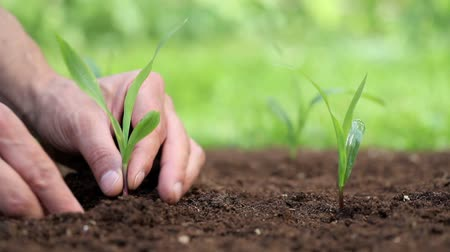 tohum : hands planting a seed and Watering