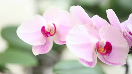 orchidea : orchid flower, blurred Wideo