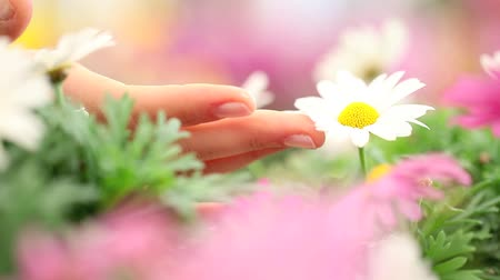 stokrotki : Woman hand touching the Daisies flower, close up