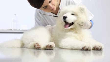 doktor : Veterinarian examining dog on table in vet clinic. exam of teeth, ears , fur and paw