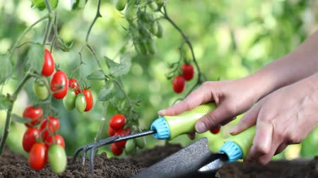 ferramenta : Hands work The soil of cherry tomatoes cure the vegetable garden