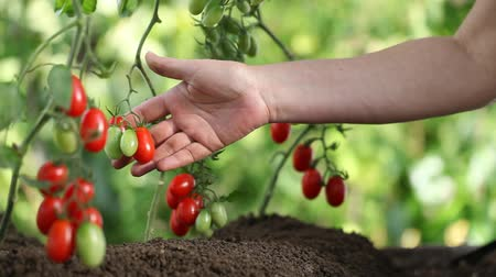 garça : Hands touches plants of cherry tomatoes control quality and  cure the vegetable garden Stock Footage