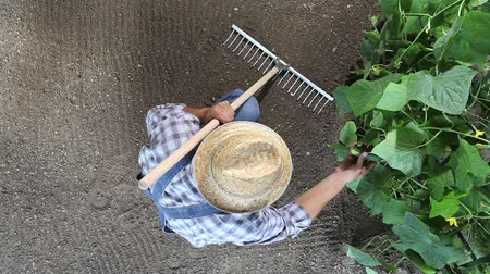 farmer working in vegetable garden, check at plants of cucumber, top view and copy space template. Dostupné videozáznamy