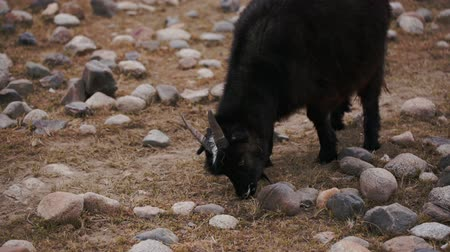 goatherd : Black goat grazed, looking for food in poorest stony soil. Large areas with poor vegetation and stones for agriculture in harsh asian Mongolian territory. Grassland on the rural outskirts. Close up