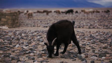 goatherd : Black goats with horns grazed on open spaces, looking for food in soil. Large areas with poor vegetation and stones for agriculture in harsh asian Mongolian territory. Grassland on the rural outskirts