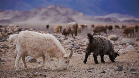 goatherd : White goat with horns grazed on open spaces, looking for food in soil. Large areas with poor vegetation and stones for agriculture in harsh asian Mongolian territory. Grassland on the rural outskirts