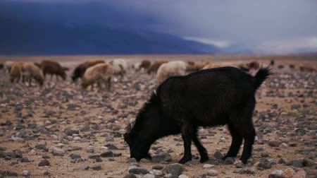 goatherd : Black goat with horns grazed on open spaces. Perfect blue sky. Large areas with poor vegetation and stones for agriculture in harsh asian Mongolian territory. Grassland on the rural outskirts Stock Footage