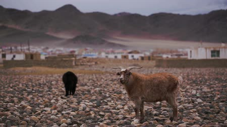 goatherd : Brown goat with horns grazed about settlement, looks at us. Large areas with poor vegetation and stones for agriculture in harsh asian Mongolian territory. Grassland on the rural outskirts Stock Footage