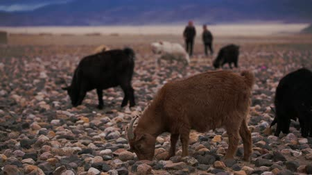 goatherd : Brown goat grazed, looking for food in poorest stony soil. Large areas with poor vegetation and stones for agriculture in harsh asian Mongolian territory. Grassland on the rural outskirts. Close up