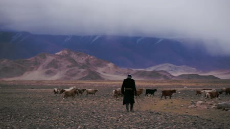 goatherd : Deluun Mongolia - November 9 2015: Old man in field. Life in harsh Mongolian territory, large areas with poor vegetation for agriculture. Farmer tending flock of goats in pasture in Mongolian desert Stock Footage