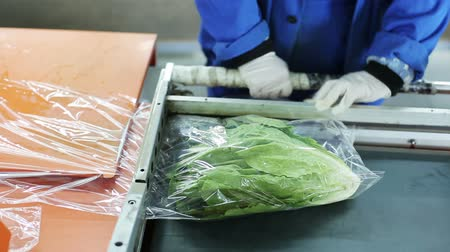 zöldségek : Woman wraps of Chinese head of lettuce. Packs in food film. Companies and providers of healthy food. Grocery packing for retailers. Close up. Food distribution by trader of retail and wholesale trade